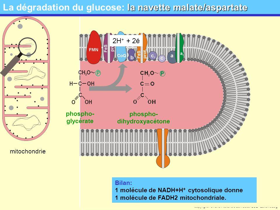 La dégradation du glucose: la navette malate/aspartate