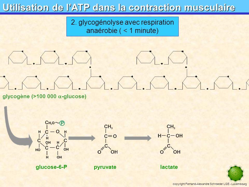 2. glycogénolyse avec respiration anaérobie ( < 1 minute)