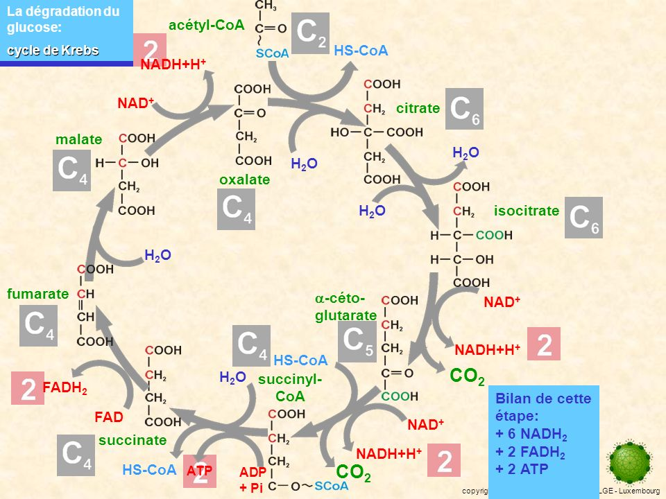 CO2 CO2 acétyl-CoA HS-CoA NADH+H+ NAD+ citrate malate H2O oxalate H2O