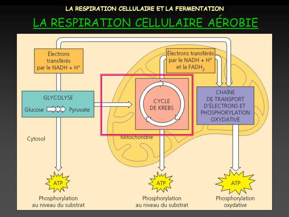 LA RESPIRATION CELLULAIRE ET LA FERMENTATION