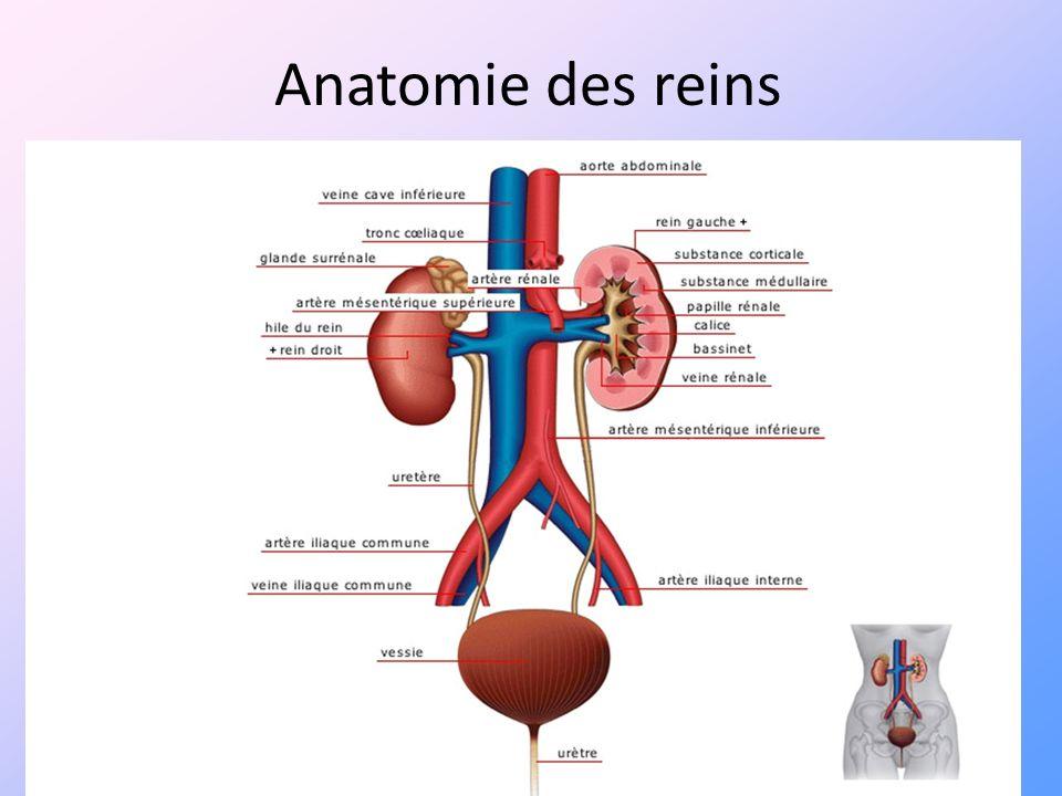 Anatomie des reins 5