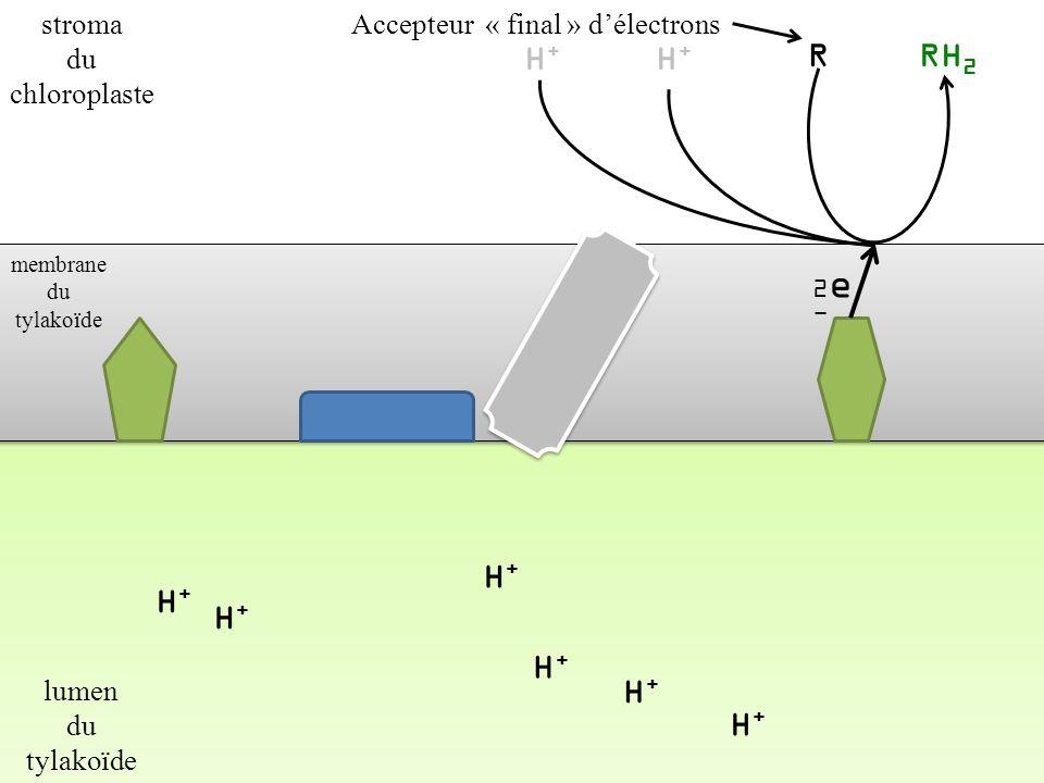 H+ H+ R RH2 H+ H+ H+ H+ H+ H+ stroma du chloroplaste