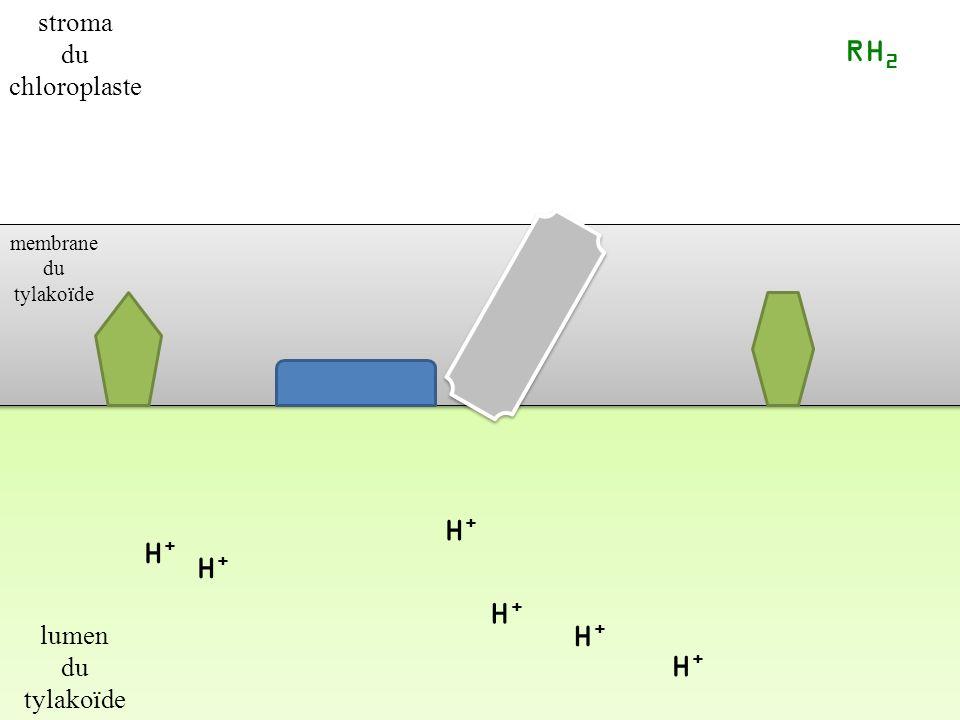 RH2 H+ H+ H+ H+ H+ H+ stroma du chloroplaste lumen du tylakoïde