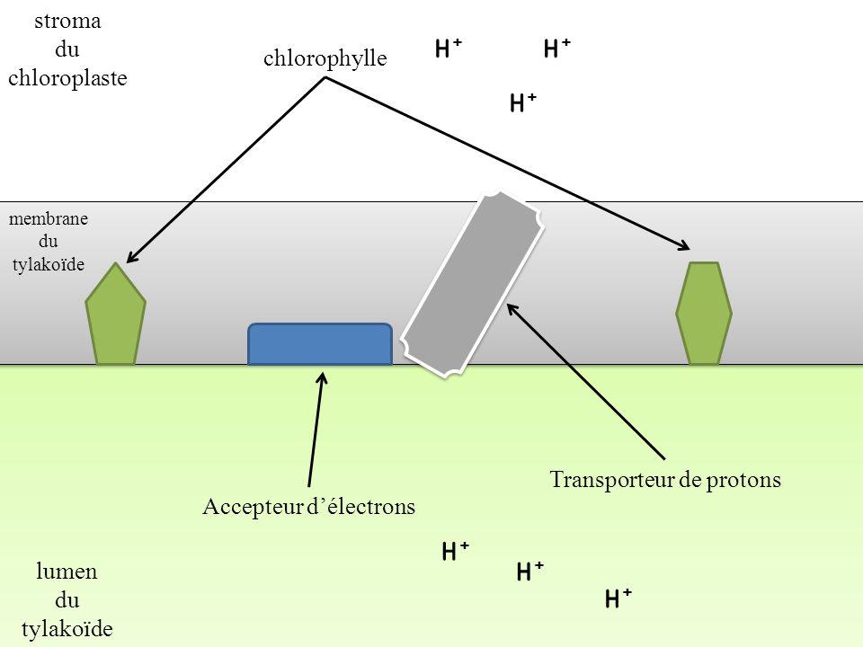H+ H+ H+ H+ H+ H+ stroma du chloroplaste chlorophylle