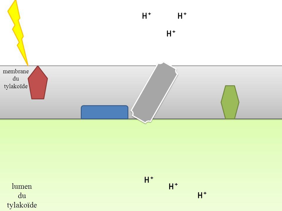 H+ H+ H+ membrane du tylakoïde H+ lumen du tylakoïde H+ H+