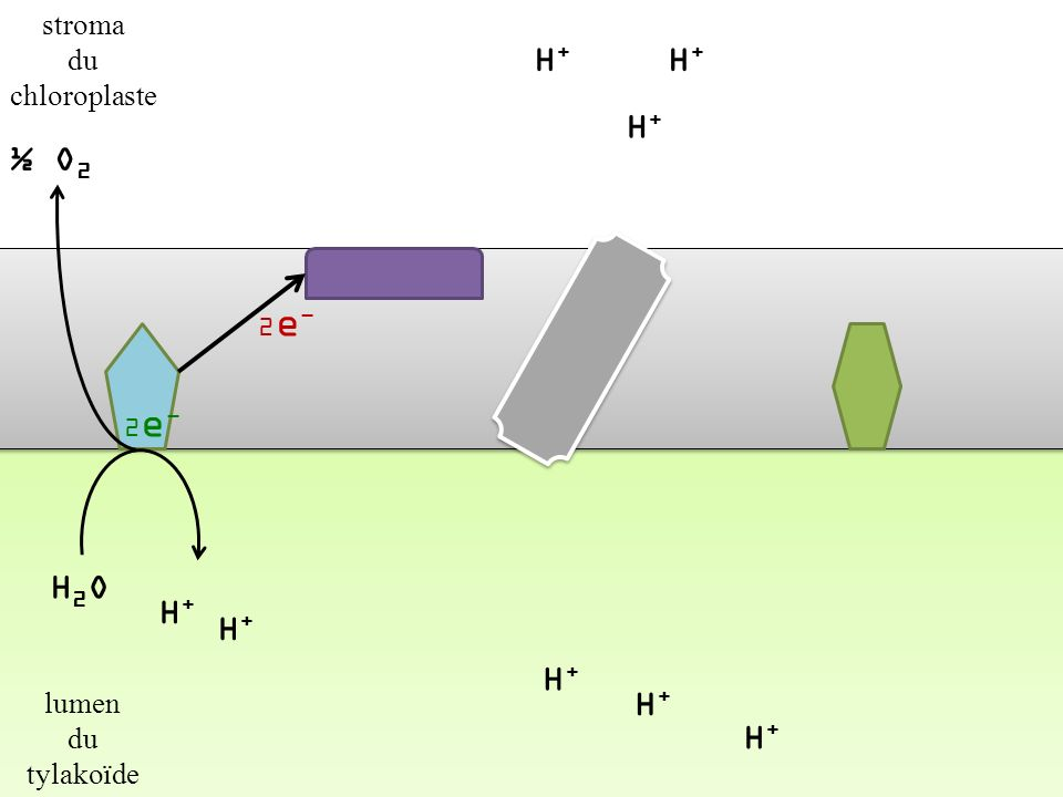 H2O H+ ½ O2 H+ H+ H+ H+ H+ H+ stroma du chloroplaste lumen du