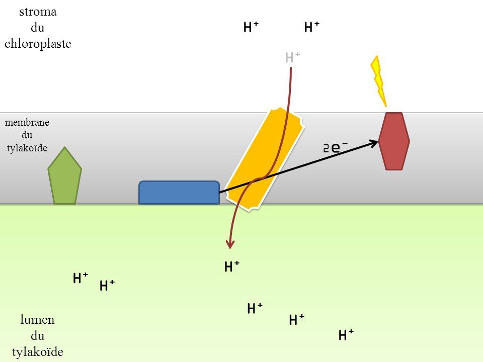 H+ H+ H+ H+ H+ H+ H+ H+ H+ stroma du chloroplaste lumen du tylakoïde