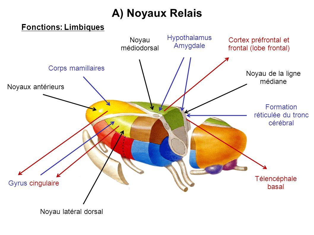 A) Noyaux Relais Fonctions: Limbiques Hypothalamus Amygdale