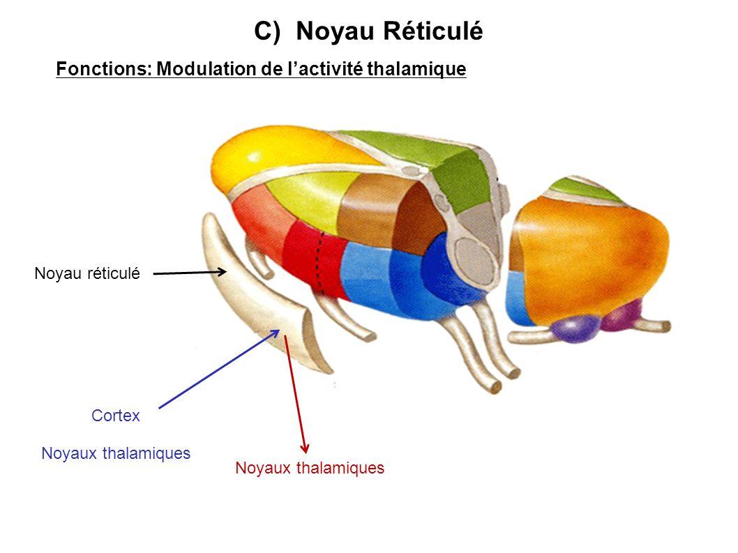 Fonctions: Modulation de l'activité thalamique