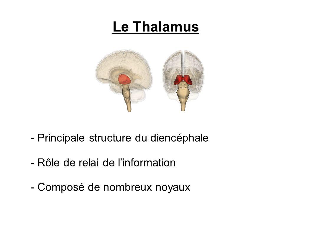Le Thalamus Principale structure du diencéphale