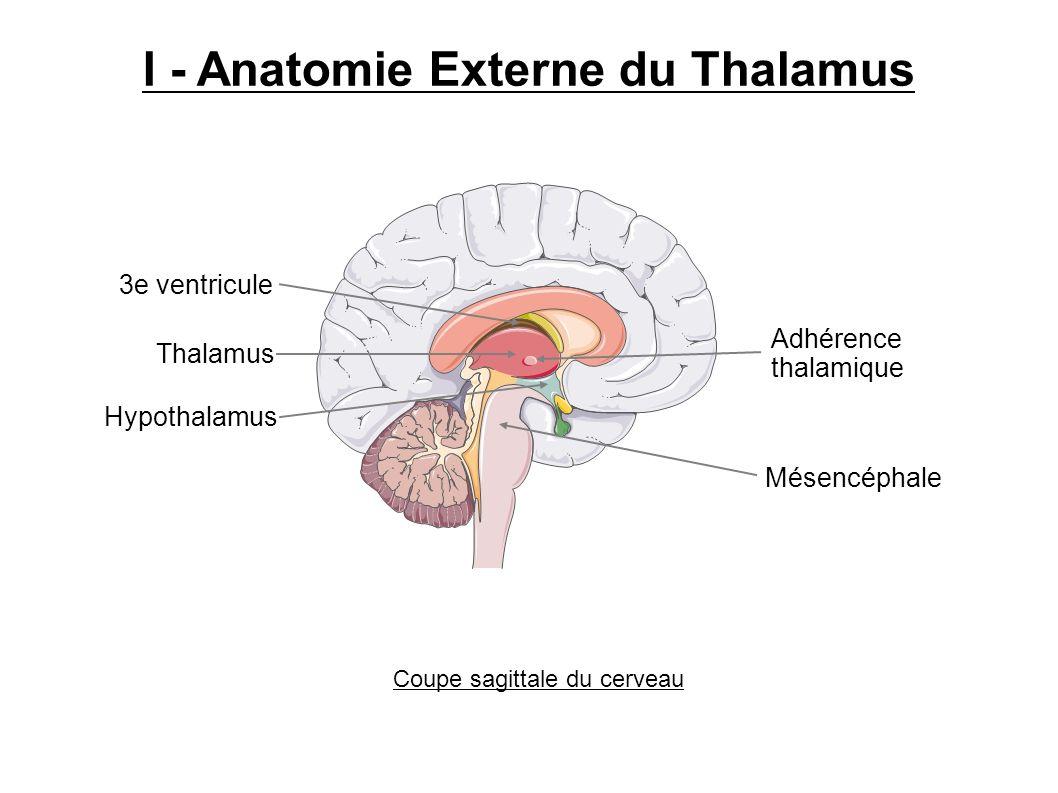 I - Anatomie Externe du Thalamus