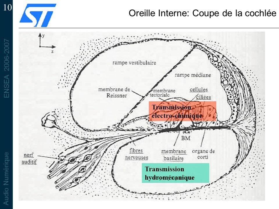 Oreille Interne: Coupe de la cochlée