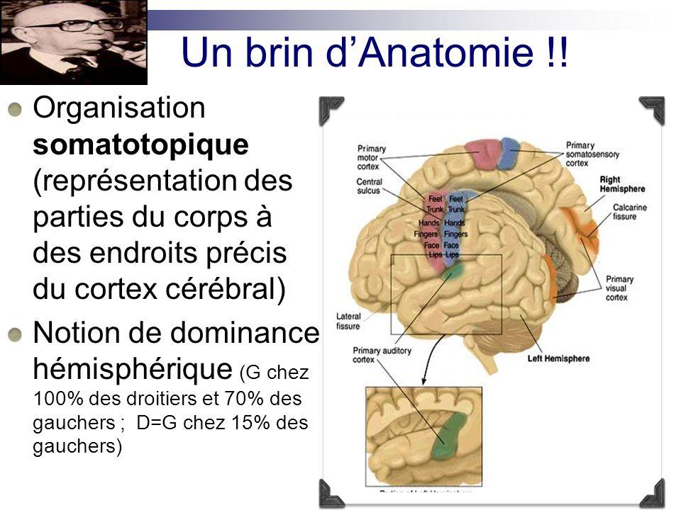 Un brin d'Anatomie !! Organisation somatotopique (représentation des parties du corps à des endroits précis du cortex cérébral)