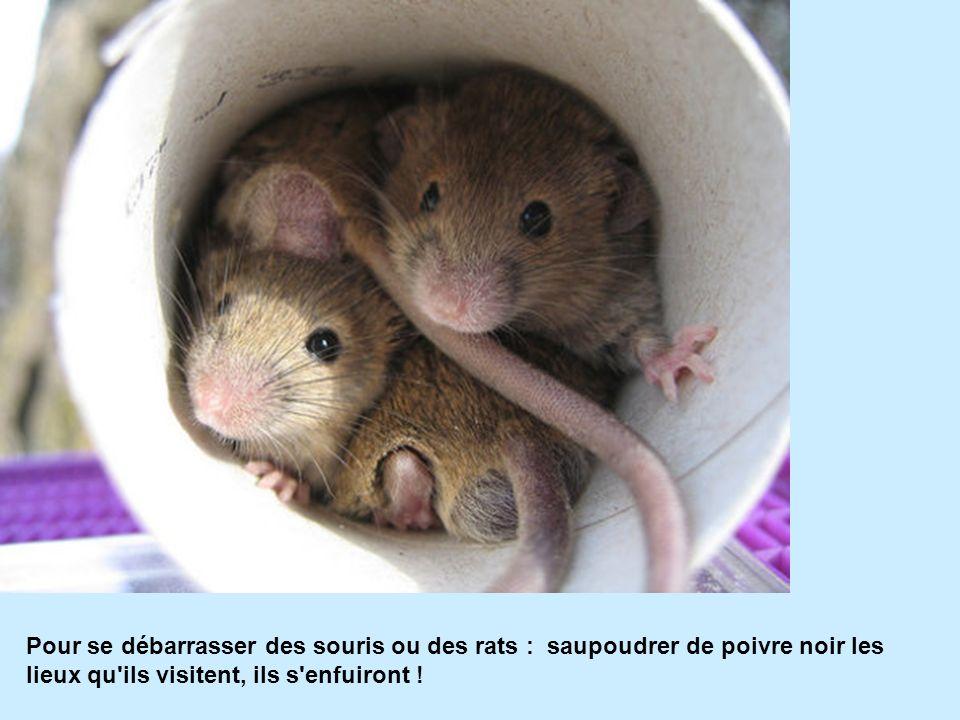 Pour se débarrasser des souris ou des rats : saupoudrer de poivre noir les lieux qu ils visitent, ils s enfuiront !