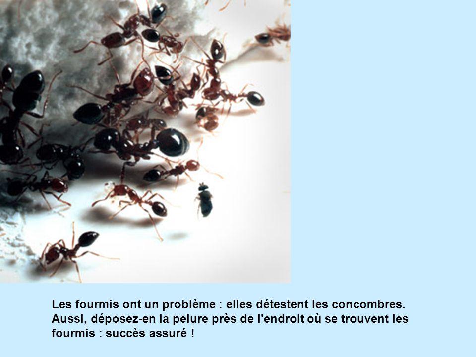 Les fourmis ont un problème : elles détestent les concombres