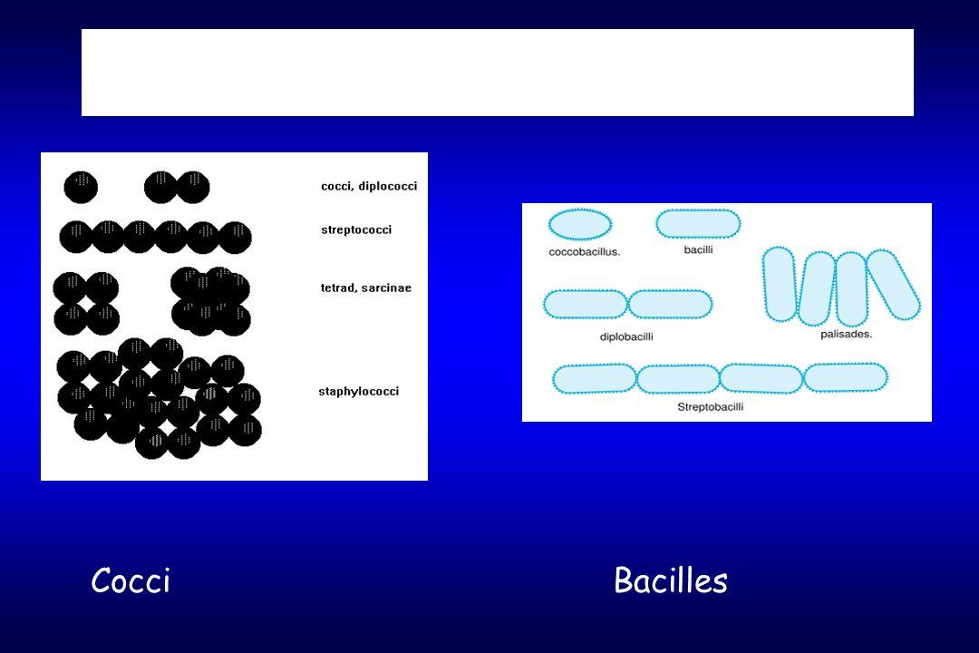 Morphologie Cocci Bacilles