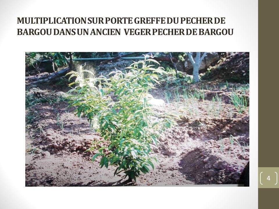 MULTIPLICATION SUR PORTE GREFFE DU PECHER DE BARGOU DANS UN ANCIEN VEGER PECHER DE BARGOU