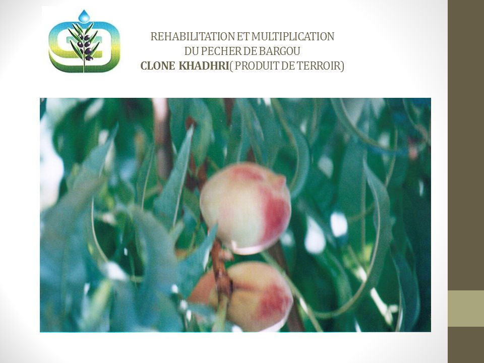 REHABILITATION ET MULTIPLICATION DU PECHER DE BARGOU CLONE KHADHRI( PRODUIT DE TERROIR)