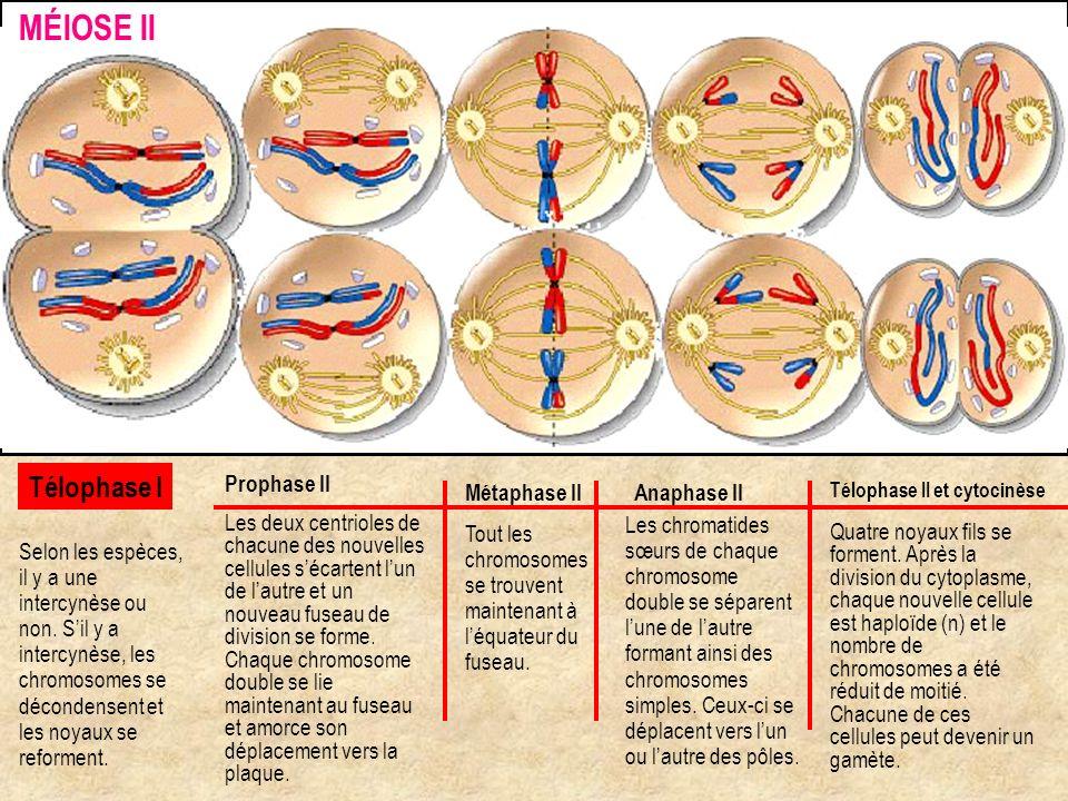 MÉIOSE II Télophase I Prophase II