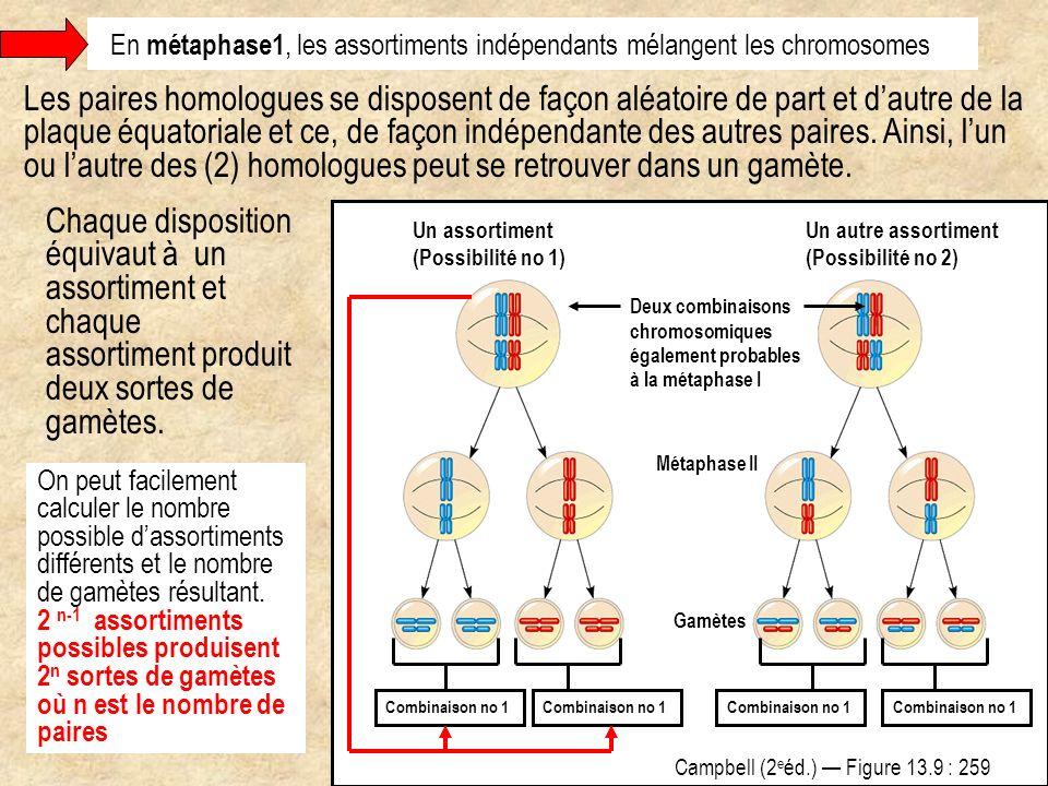 En métaphase1, les assortiments indépendants mélangent les chromosomes