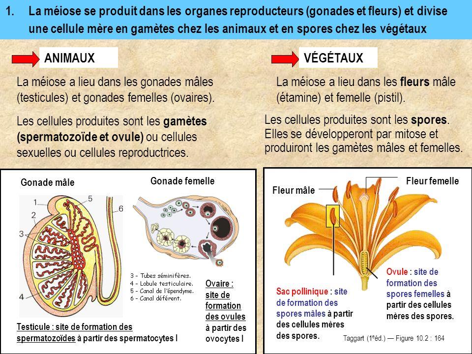 La méiose a lieu dans les fleurs mâle (étamine) et femelle (pistil).