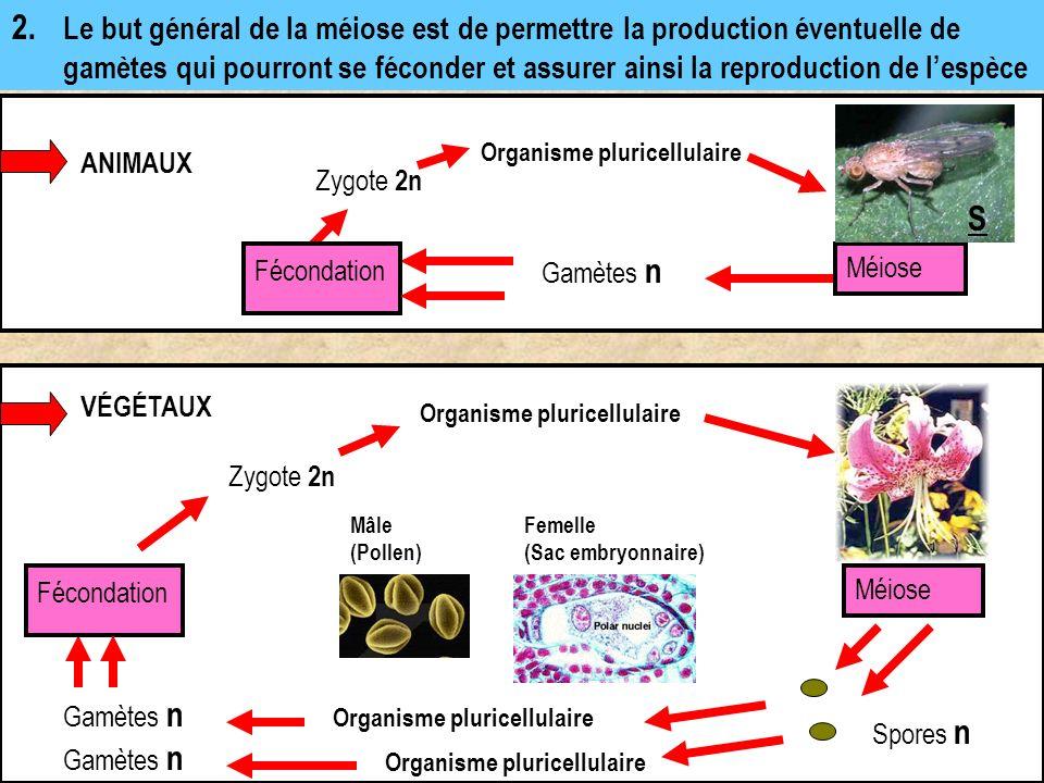 2. Le but général de la méiose est de permettre la production éventuelle de gamètes qui pourront se féconder et assurer ainsi la reproduction de l'espèce