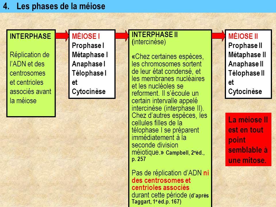 4. Les phases de la méiose INTERPHASE. Réplication de l'ADN et des centrosomes et centrioles associés avant la méiose.