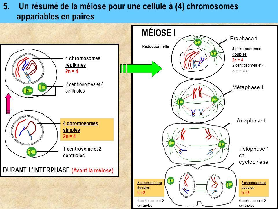 5. Un résumé de la méiose pour une cellule à (4) chromosomes appariables en paires