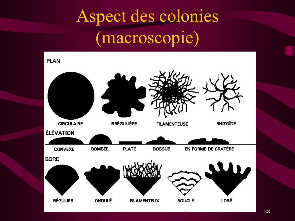 Aspect des colonies (macroscopie)