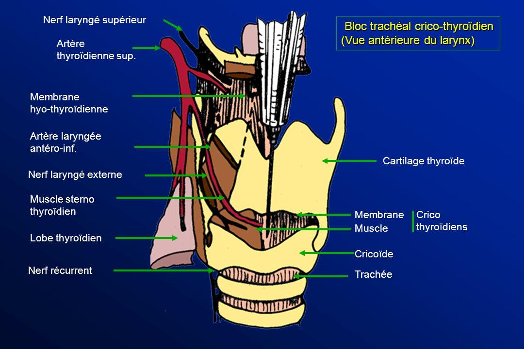 Bloc trachéal crico-thyroïdien (Vue antérieure du larynx)