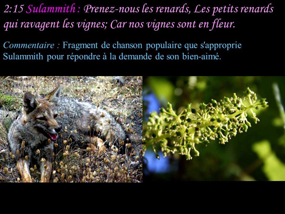 2:15 Sulammith : Prenez-nous les renards, Les petits renards qui ravagent les vignes; Car nos vignes sont en fleur.