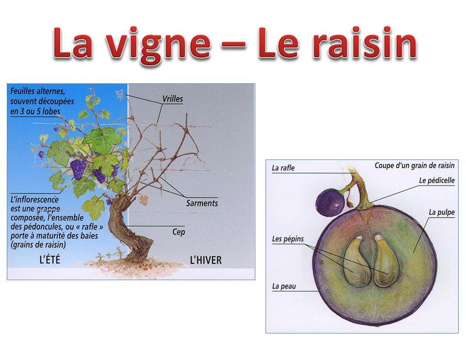 La vigne – Le raisin