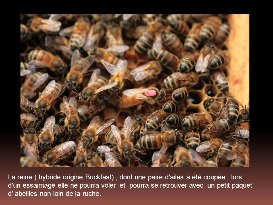 La reine ( hybride origine Buckfast) , dont une paire d'ailes a été coupée : lors d'un essaimage elle ne pourra voler et pourra se retrouver avec un petit paquet d' abeilles non loin de la ruche.