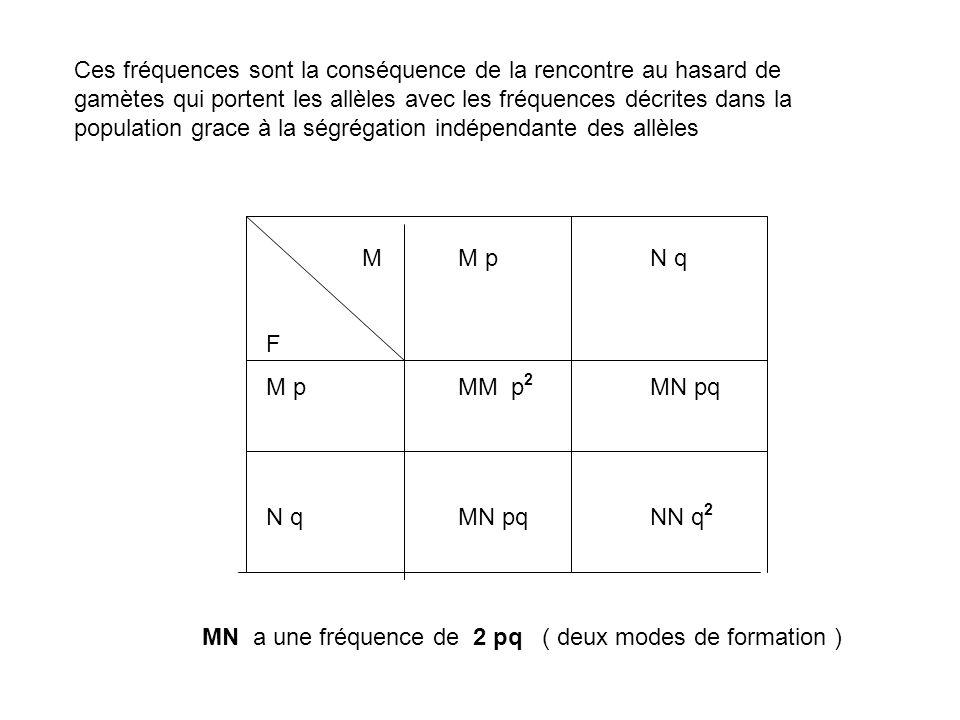 Ces fréquences sont la conséquence de la rencontre au hasard de gamètes qui portent les allèles avec les fréquences décrites dans la population grace à la ségrégation indépendante des allèles