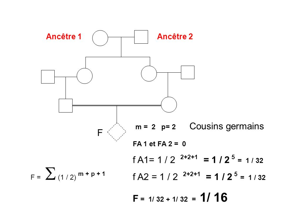 m = 2 p= 2 Cousins germains F f A1= 1 / 2 2+2+1 = 1 / 2 5 = 1 / 32