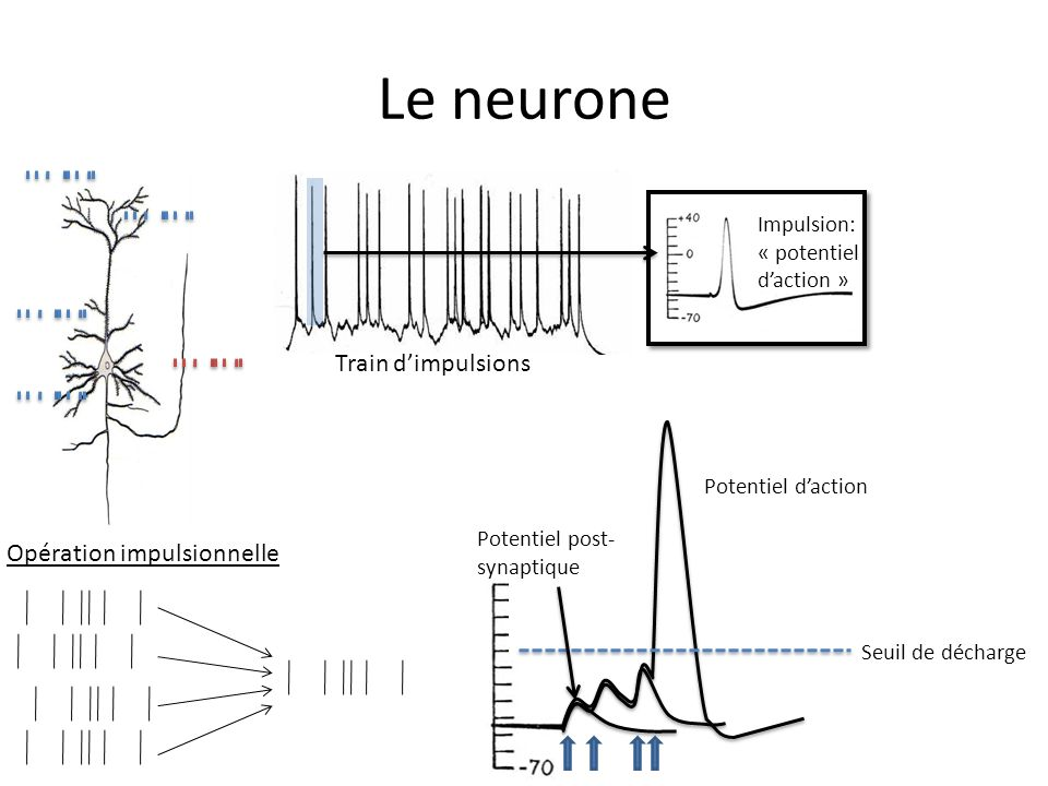 Le neurone Train d'impulsions Opération impulsionnelle