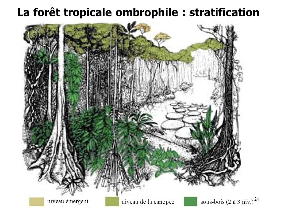 La forêt tropicale ombrophile : stratification