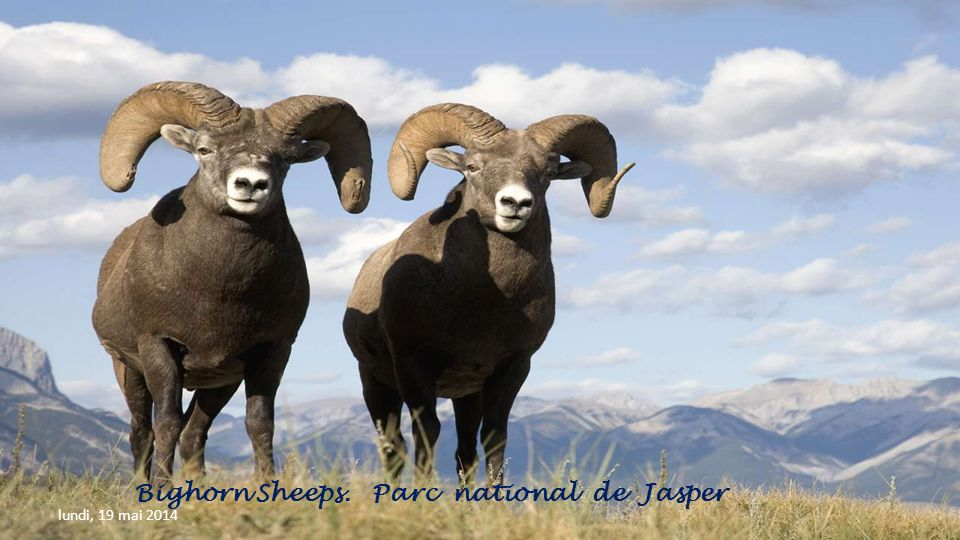 Bighorn Sheeps. Parc national de Jasper