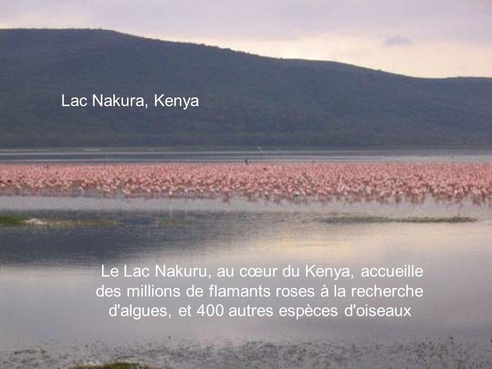 Lac Nakura, Kenya Le Lac Nakuru, au cœur du Kenya, accueille des millions de flamants roses à la recherche d algues, et 400 autres espèces d oiseaux.