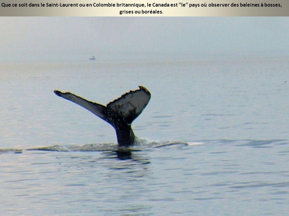 Que ce soit dans le Saint-Laurent ou en Colombie britannique, le Canada est le pays où observer des baleines à bosses, grises ou boréales.