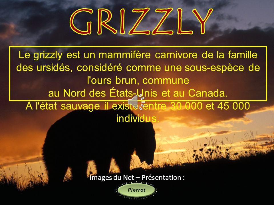GRIZZLY Le grizzly est un mammifère carnivore de la famille des ursidés, considéré comme une sous-espèce de l ours brun, commune.