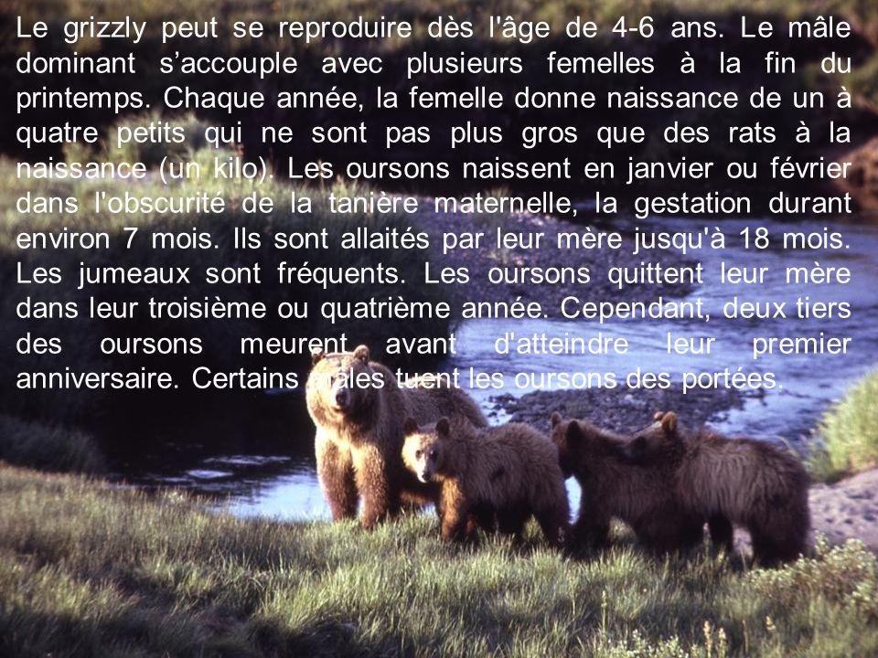 Le grizzly peut se reproduire dès l âge de 4-6 ans