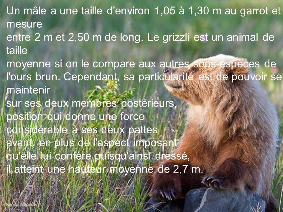 Un mâle a une taille d environ 1,05 à 1,30 m au garrot et mesure