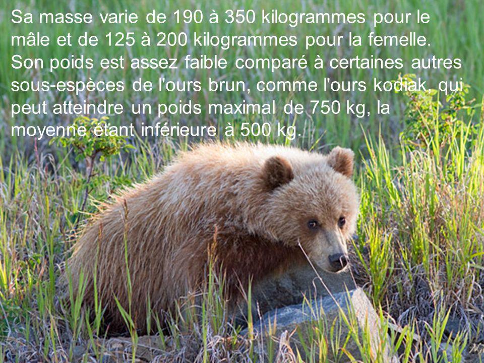 Sa masse varie de 190 à 350 kilogrammes pour le mâle et de 125 à 200 kilogrammes pour la femelle.