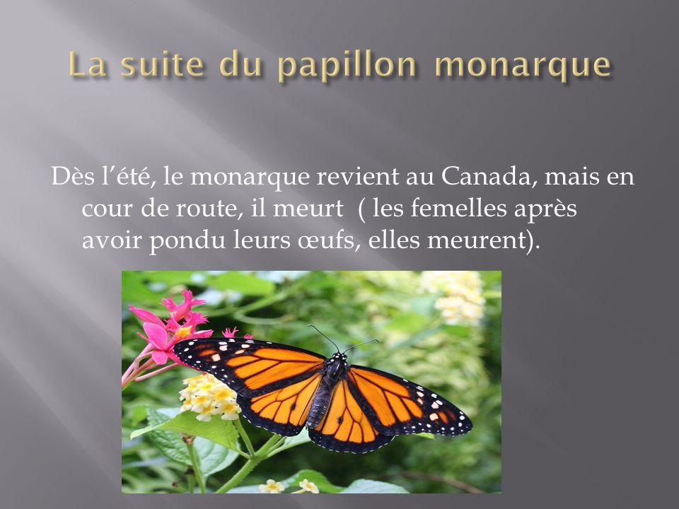 La suite du papillon monarque