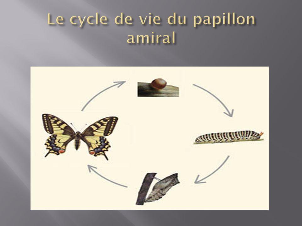 Le cycle de vie du papillon amiral