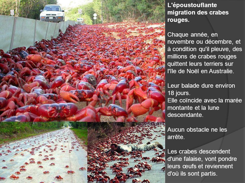L époustouflante migration des crabes rouges.