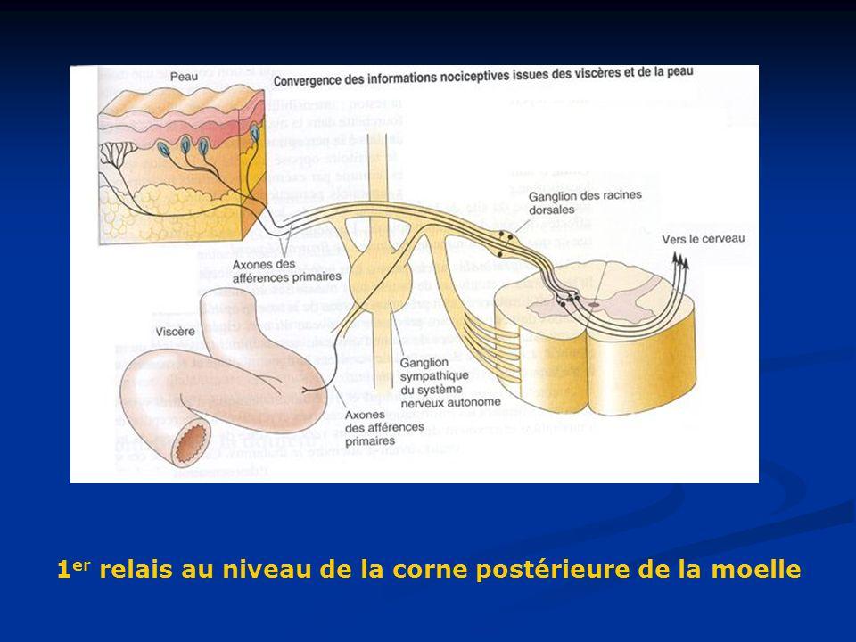 1er relais au niveau de la corne postérieure de la moelle