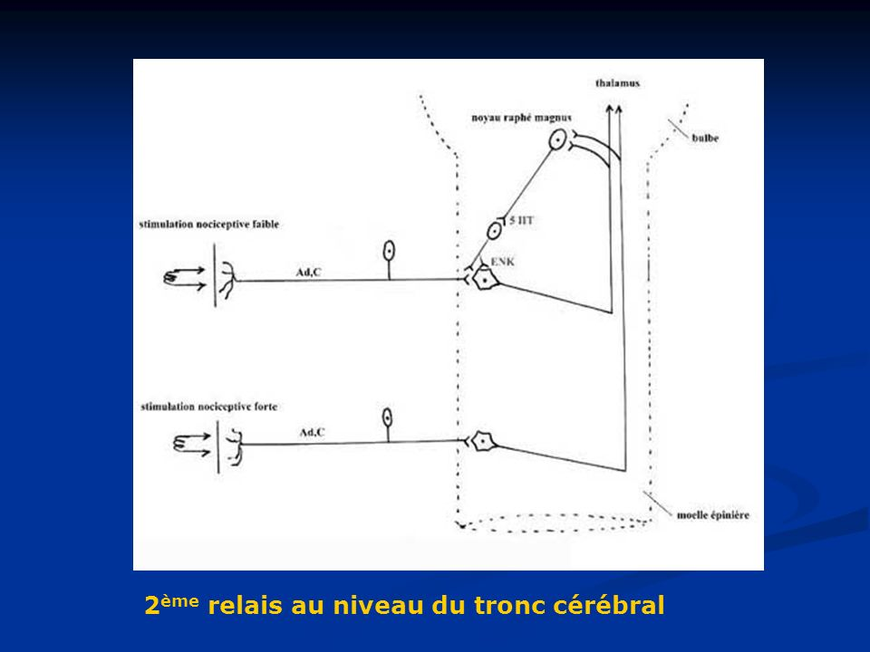 2ème relais au niveau du tronc cérébral