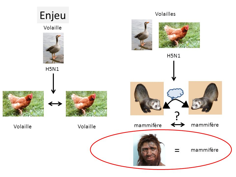 Enjeu = Volailles H5N1 Volaille H5N1 mammifère Volaille Volaille